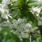 Megyfa virága