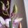 Dendrobium-002_1422065_2485_t