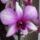 Dendrobium-003_1422061_2066_t