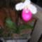 Kép Nemzetközi orchidea kiállítás 2012.04.15.  22 118