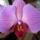 Zsófi orchideái