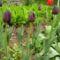 Fekete tulipán és társai