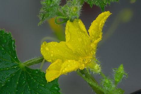 uborka virág 1