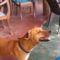 10 Cejlon - kóbor kutya