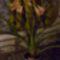 Clivia virágzása