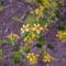 Aranyribiszke - Ribes aureum