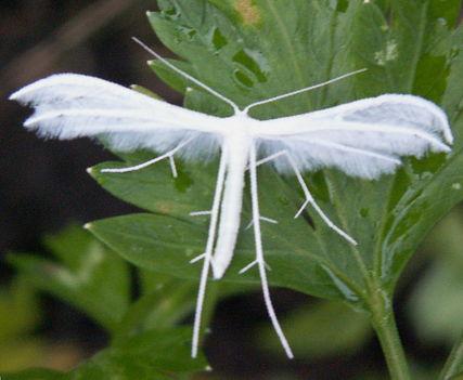 Fehér tollas molylepke - Pterophorus pentadactyla