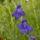 Gyógynövények, Mezei virágok