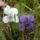 Ibolya -  Viola odorata