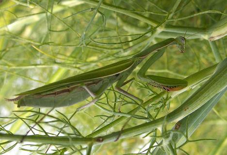Imádkozó sáska - Mantis religiosa