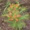 Kutyatej - Euphorbia cypariassias