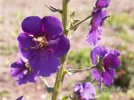 Lila ökörfarkkóró - Verbascum phoeniceum