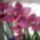 Medgyesiné Irén orchideái