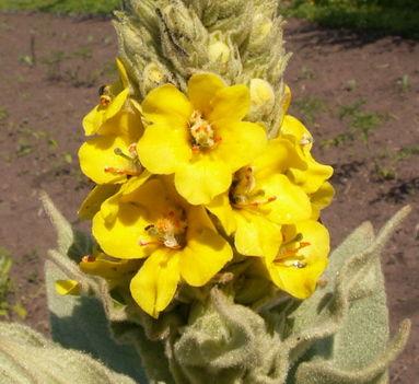 Ökörfarkkóró - Verbascum thapsus