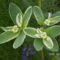 Tarka kutyatej - Euphorbia marginata