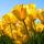 Tulips  Anyák napjára