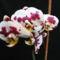 A számkivetett bocis lepkeorchidea (8.) 2012-04-30