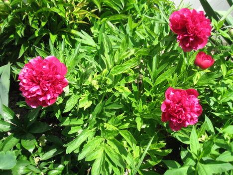 A tavasz virágai Pünkösdi rózsa