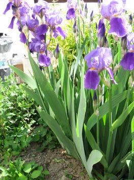 A tavasz virágai Vizi liliom