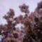 A császárfa virágpompája.
