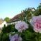Fás pünkösdi rózsa