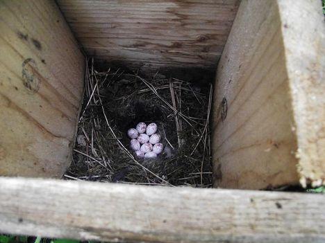 madár tojások