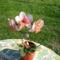 szív alaku orhidea