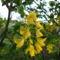 Aranyeső virágja!