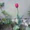 Egy Anyák Napjára nyílt tulipán