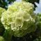 Labdarózsa virága