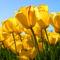 Tulips . Boldok Anyák napját !