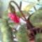 miniciklámen bimbója