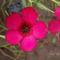 Piros len - Linum grandiflorum rubrum