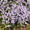 Borsikafű virágzik