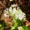 Medvehagyma virágzik