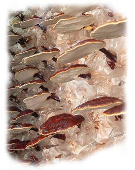 ganodermakapszula 7