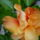 Narancssarga_hibiskus_1444910_1269_t