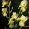 Tavaszi virágok 2012 011