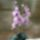 Lila_orchidea_1447150_2298_t