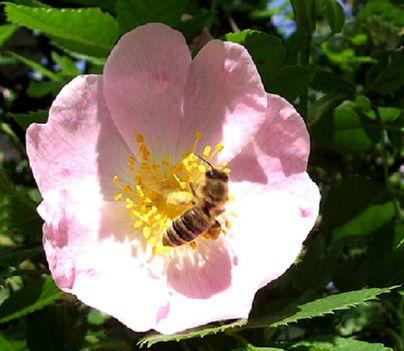 méhecske csipkerózsában....