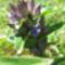 Szent Laszlo fuve(Gentiana cruciata)