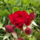 Mini_rozsa-001_1448801_2721_t