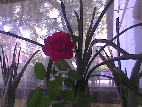 Kép009jpg. Egy rózsaszál...