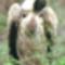 fehér hátú keselyű