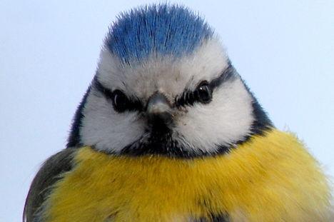 Kék cinege - Blue tit (Parus caeruleus)
