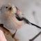 Őszapó (Aegithalos caudatus)-Long-tailed Tit-1