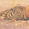 sivatagi galamb