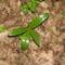 Bíboros kosbor - Orchis purpurea