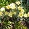 Botanikai Tulipánok
