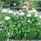 Fehér hortenzia 2011